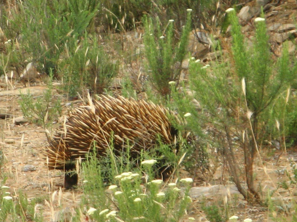 An echidna on the Aaron Creek Circuit Hike