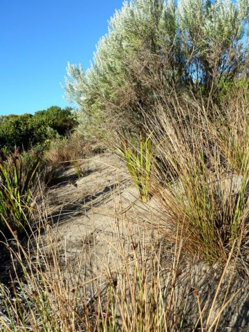 Grasses: Knobby Club-rush (front) and Sword Sedge (back)