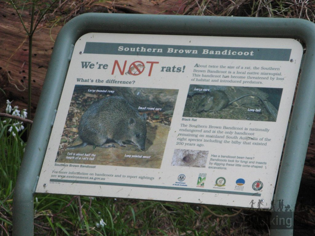 Southern Brown Bandicoots