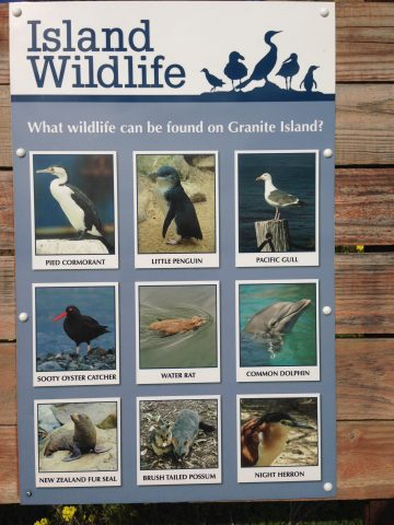 Granite Island wildlife, Pied Cormorant, Little Penguin, Pacific Gull, Sooty Oyster Catcher, Dolphin, New Zealand Fur Seal
