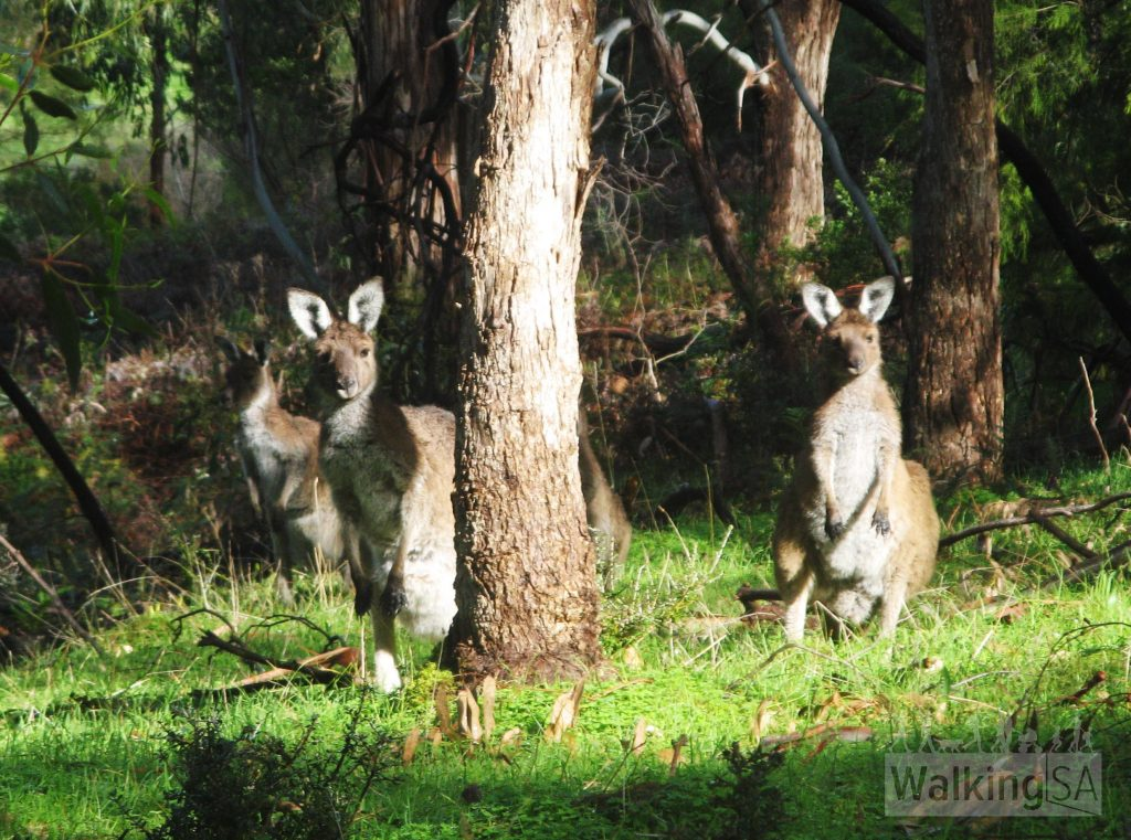 Kangaroos along the upper Newmans Track