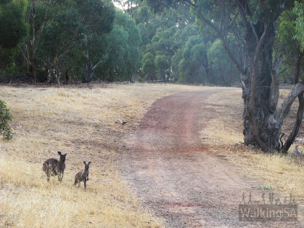 Kangaroos along the ridge track