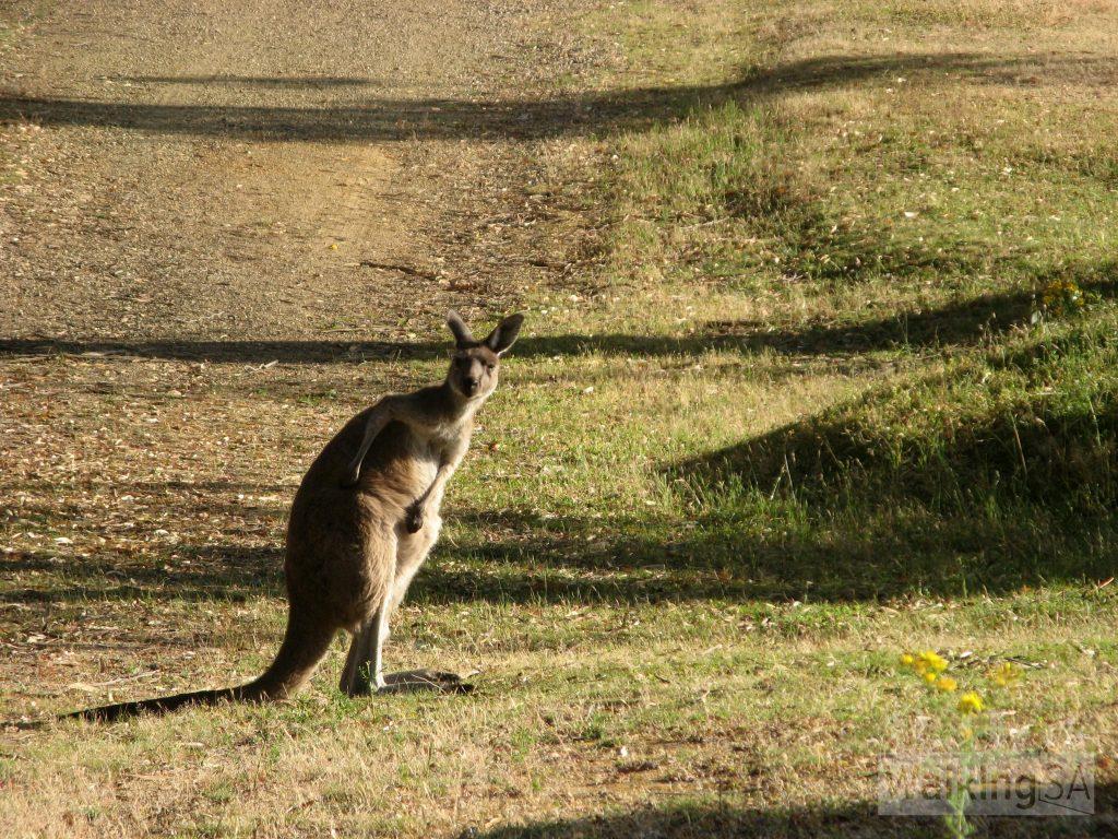 Plenty of kangaroos