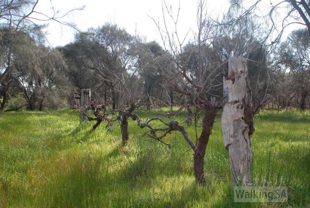 Historic vines on walk in Angove Conservation Park