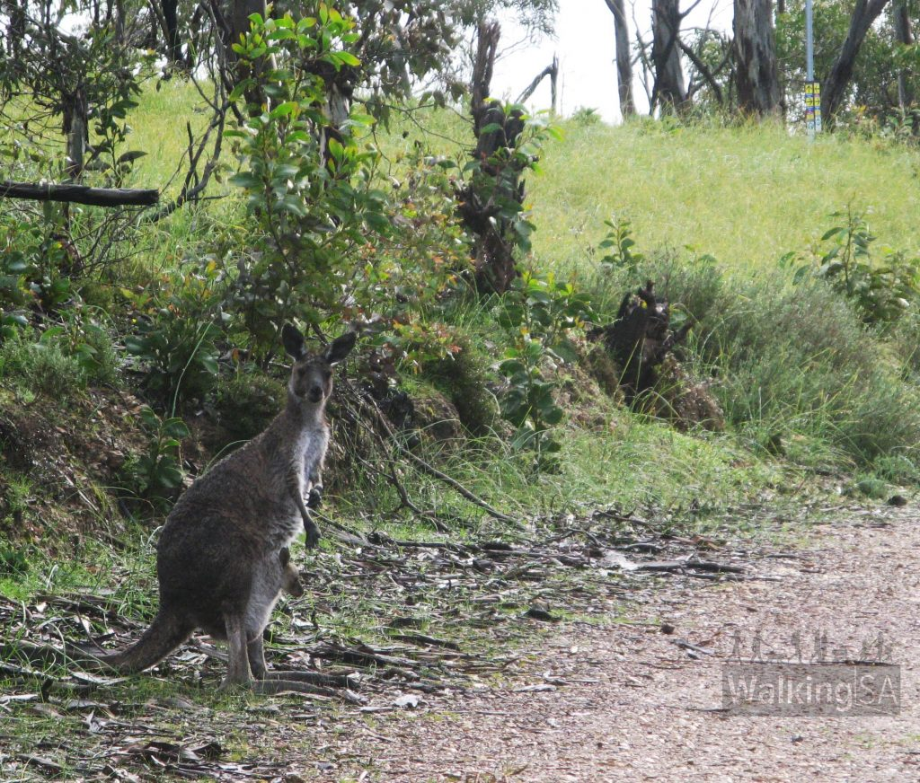 Kangaroos on the Chambers Hike