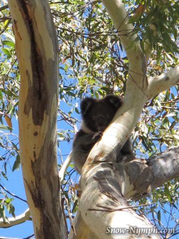 Koalas on the Wine Shanty Hike