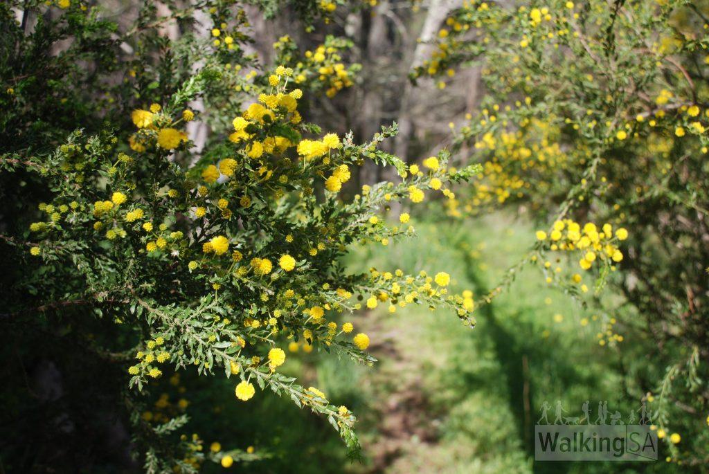 Wattle on a walk