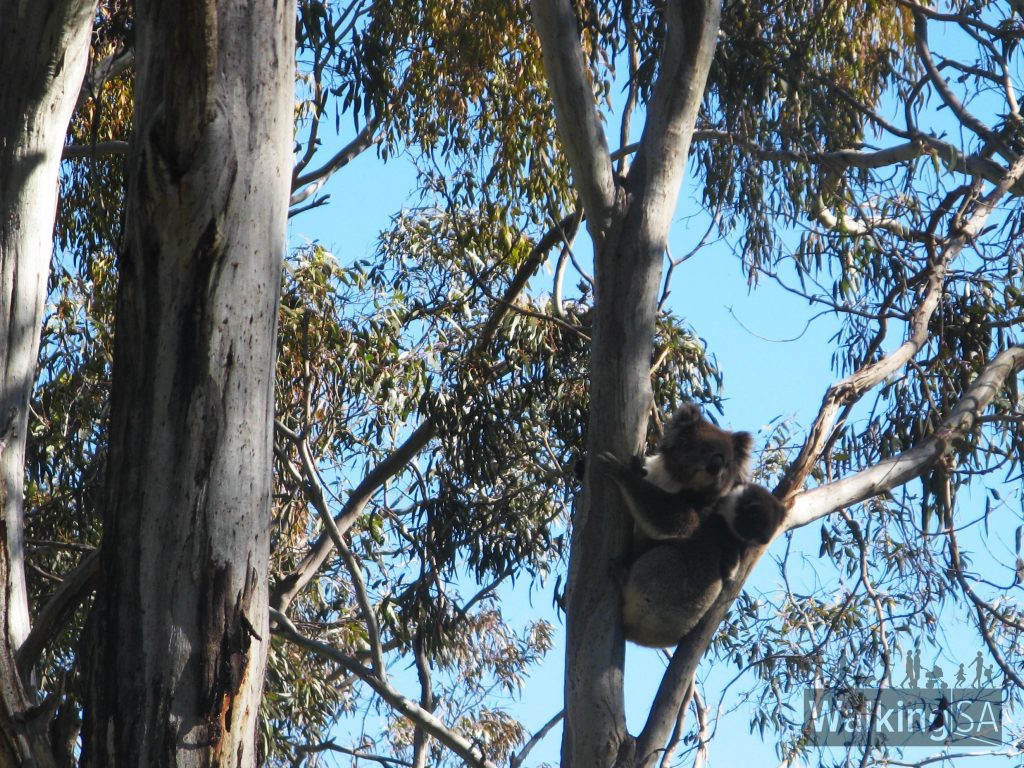 Koalas in Belair National Park