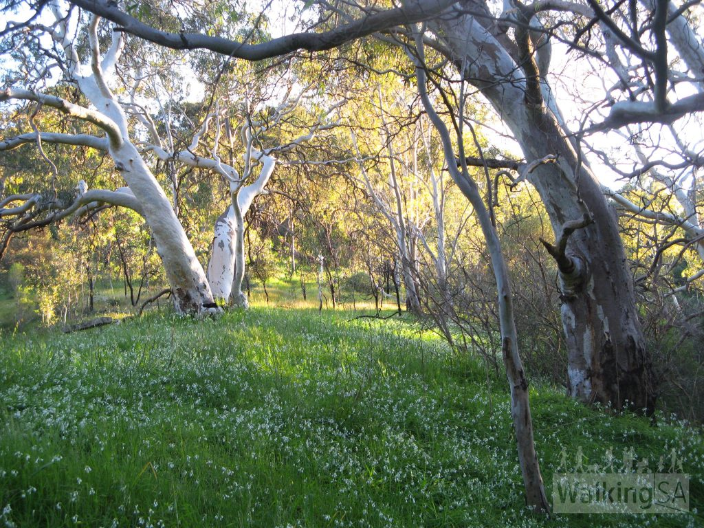 River Red Gum Loop, Shepherds Hill Recreation Park