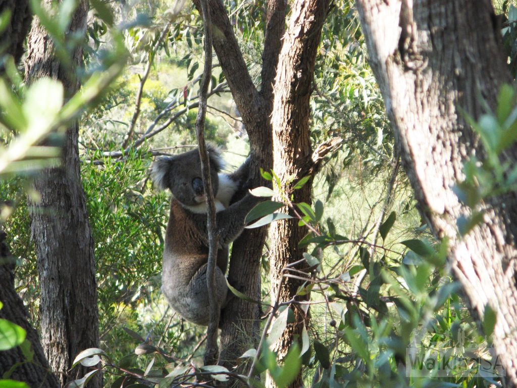 Koala on the Mead Street Walking Trail