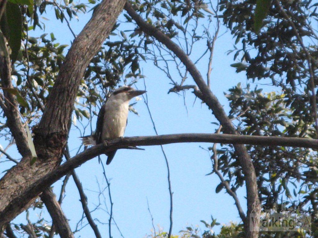 Kookaburaa