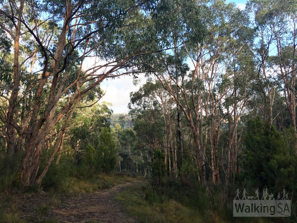 Walking along the fire track through the forest, Ridge Trail bushwalk