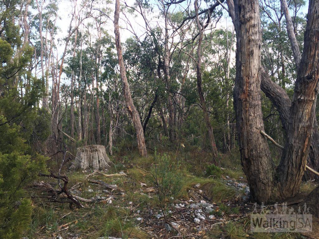 Dense stringybark forest
