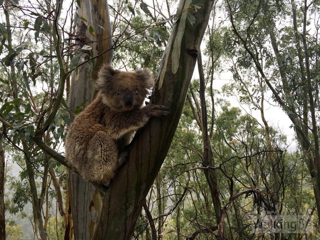 Koala, Montacute Conservation Park