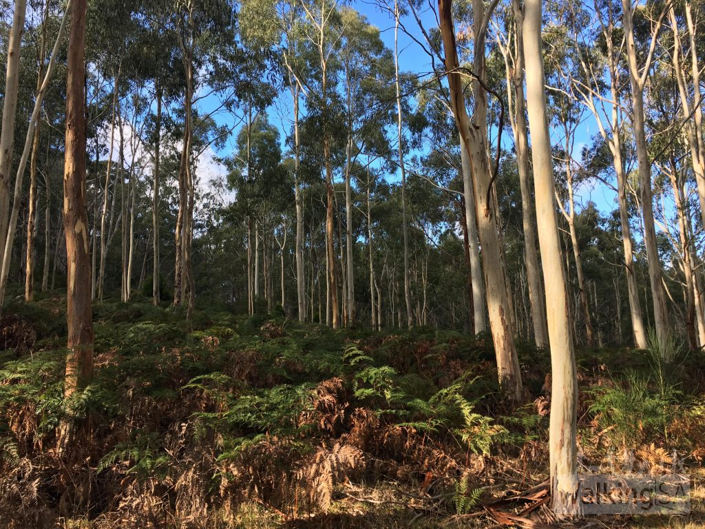 Dense Stringybark forest