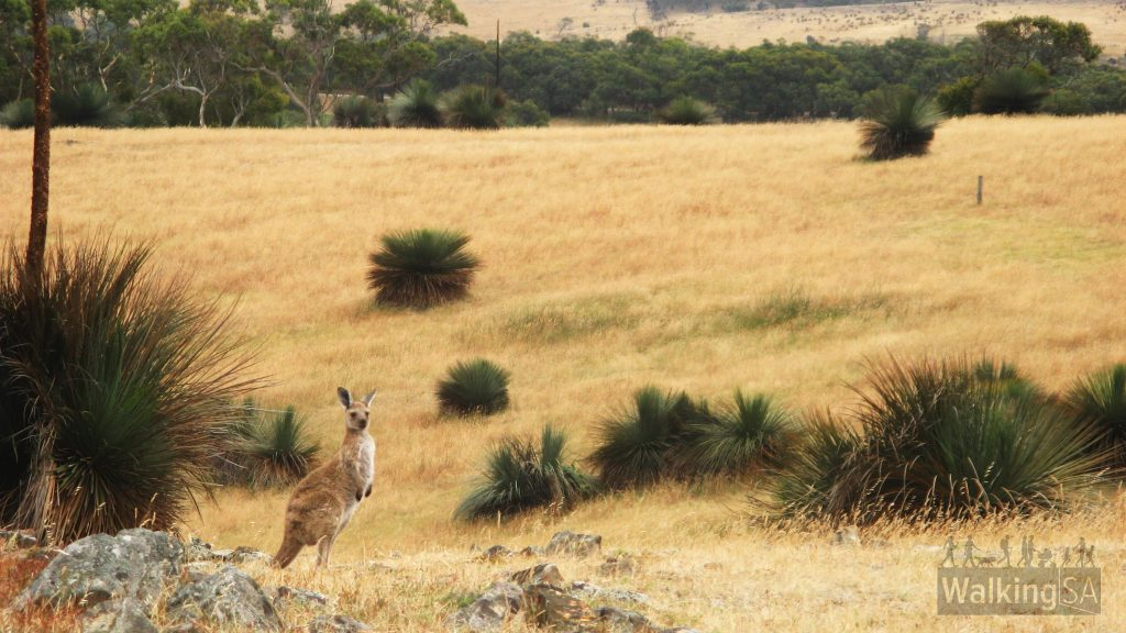 Kangaroos in the grasslands section of the Aaron Creek Circuit Hike