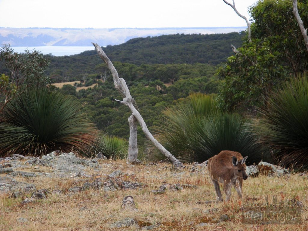 Kangaroos through the grasslands section of the Aaron Creek Circuit Hike