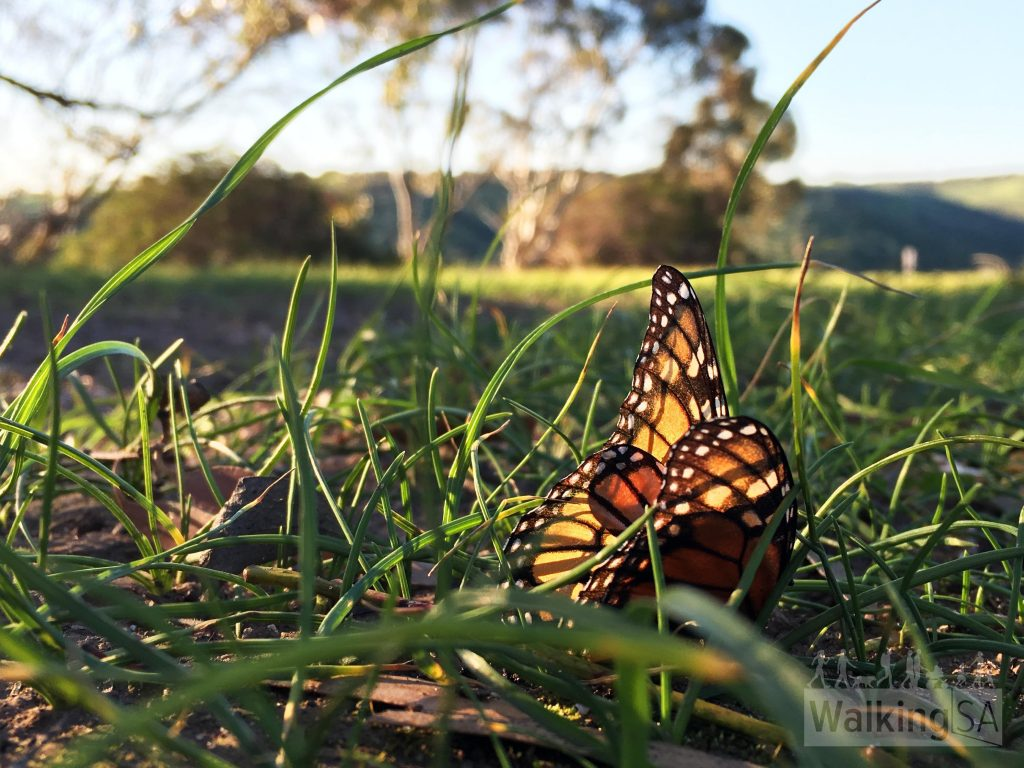 Butterflies on the Old Noarlunga Hike