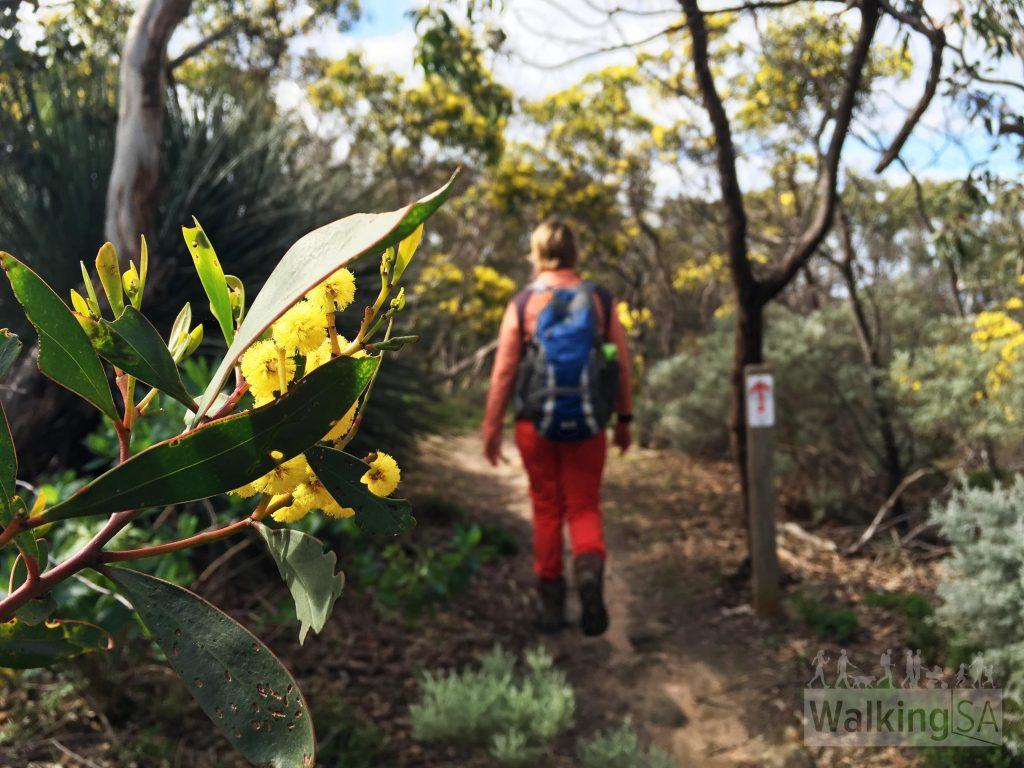 Flowering trees along the Heysen Trail hike to Kings Beach