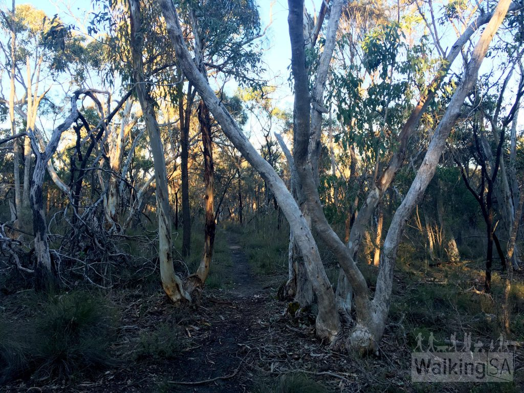 The Jenkins Scrub Walking Trail is through native scrub around Mt Crawford