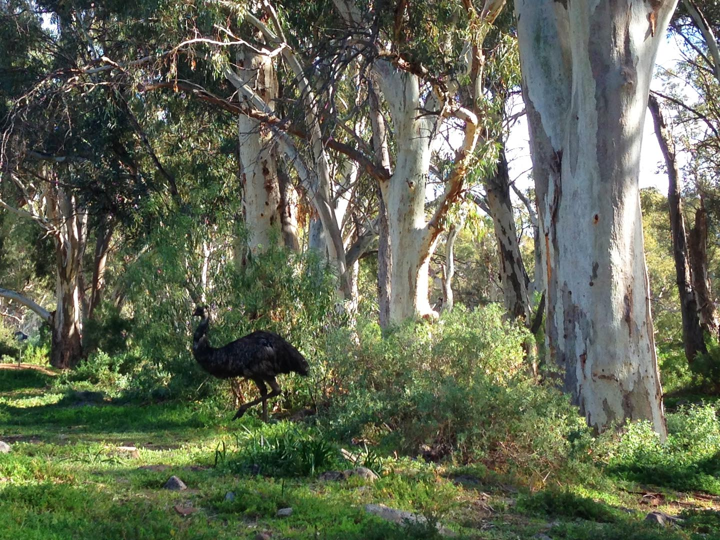 Emu in Mambray Creek, on the Wirra Water Loop Hike
