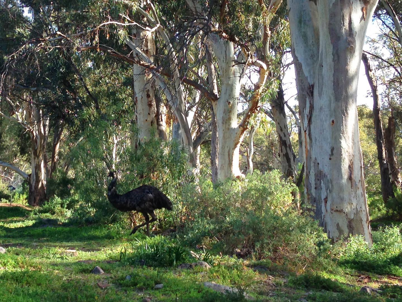 Emu in Mambray Creek, on the Wirra Water Loop Hike