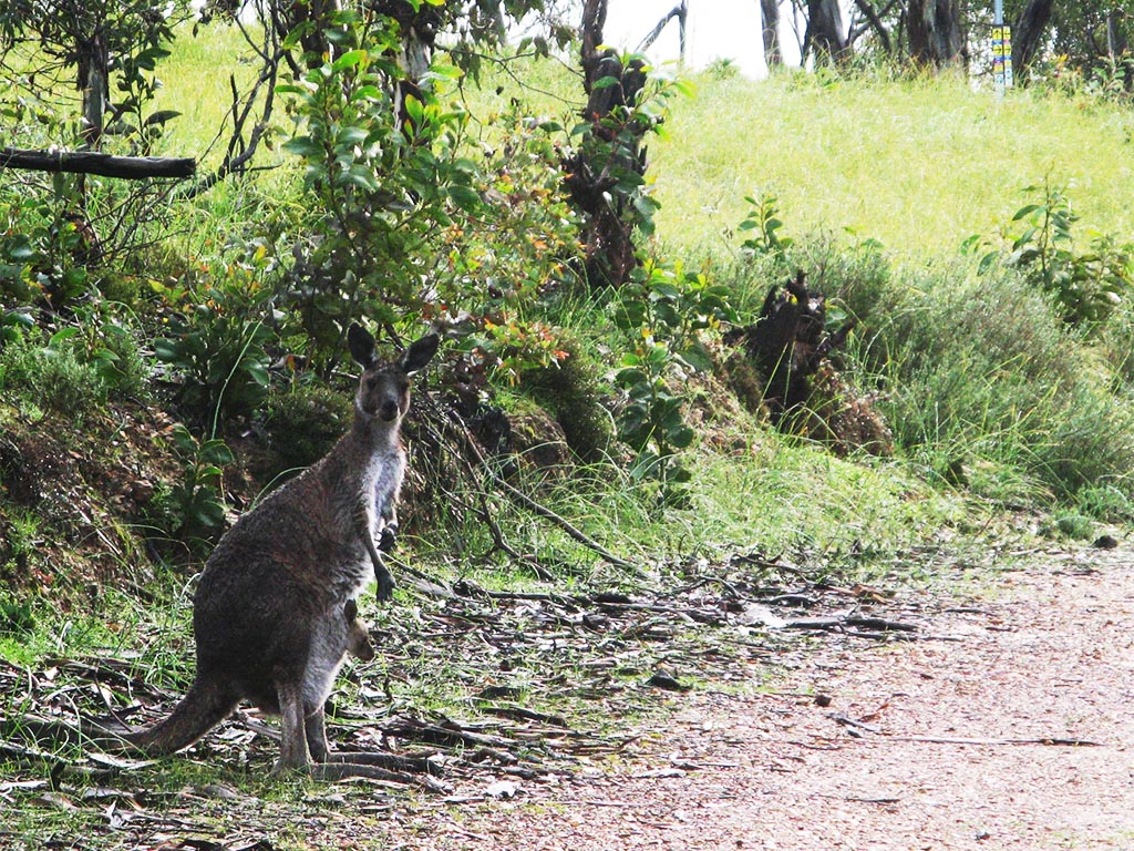 Kangaroo and joey on the Chambers Hike and Wine Shanty Hike
