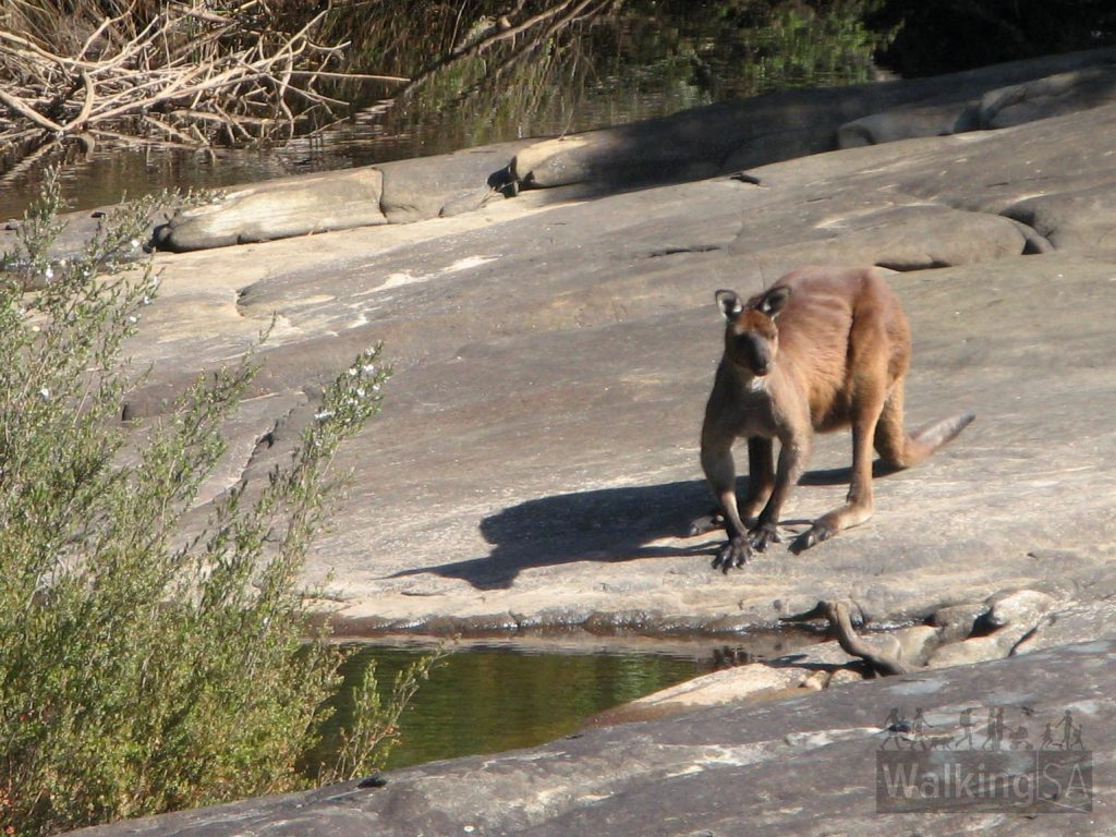 A kangaroo drinking from one of the rock holes along the Rocky River