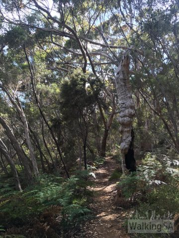 Hiking through the sugar gum forest on the Burgess Hike and May Walk at Kelly Hill Caves