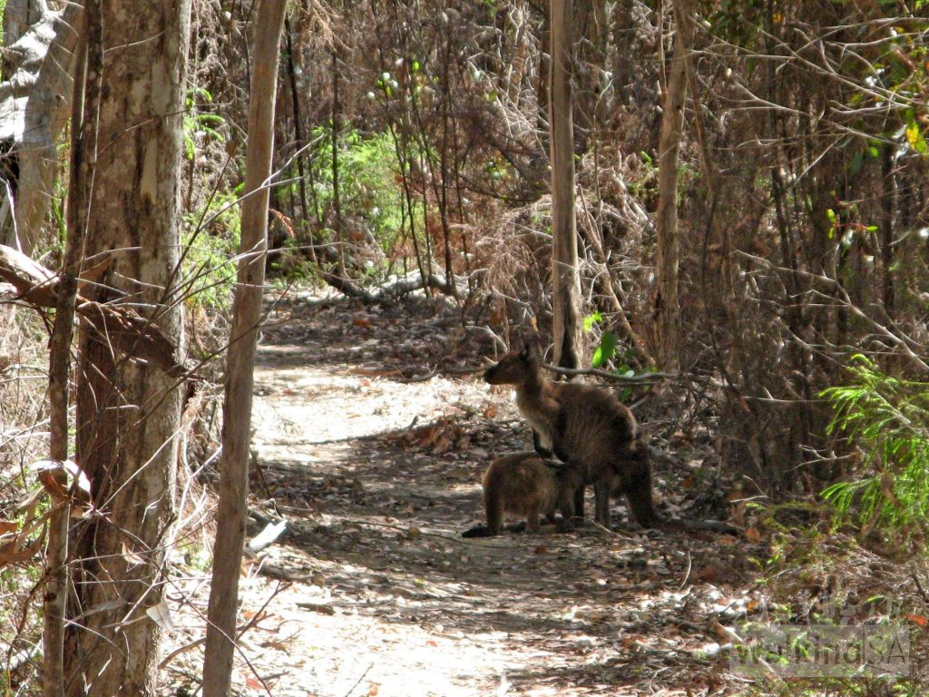 Kangaroos on the path on the Black Swamp Hike