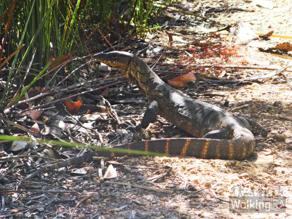 One of the many Rosenbergs Goannas (a monitor lizard) seen sunning themselves on the walking trail