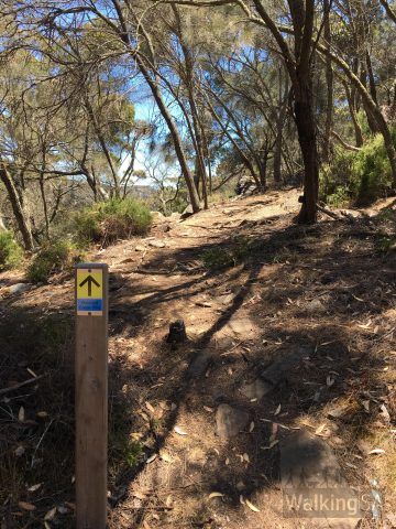 The last 200 metres of the walk is along a winding walking trail through sheoak trees