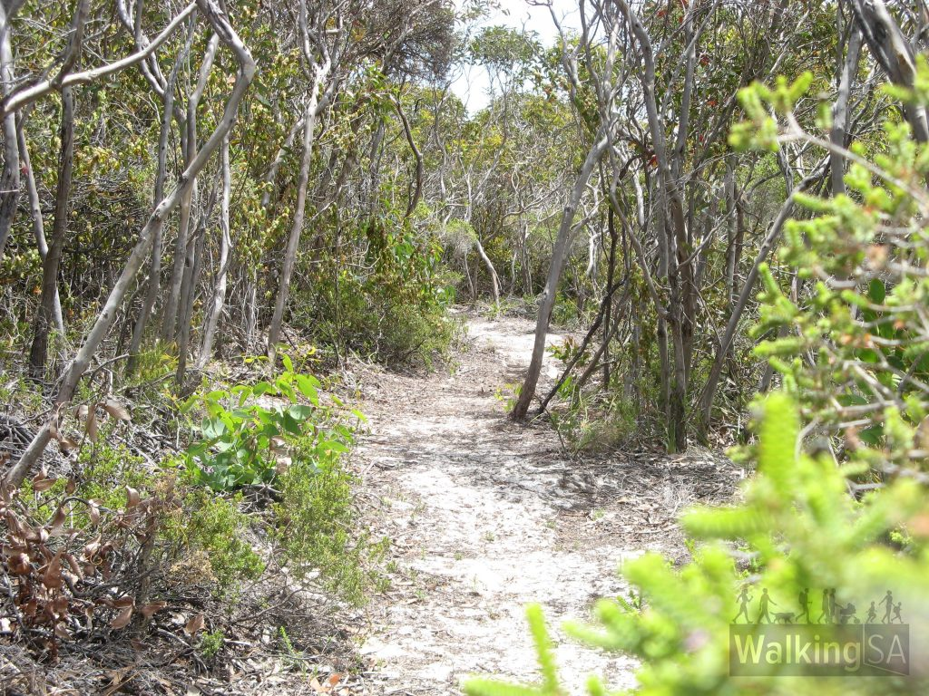 Walking between Cape Younghusband and Hanson Bay is through this sheltered mallee forest