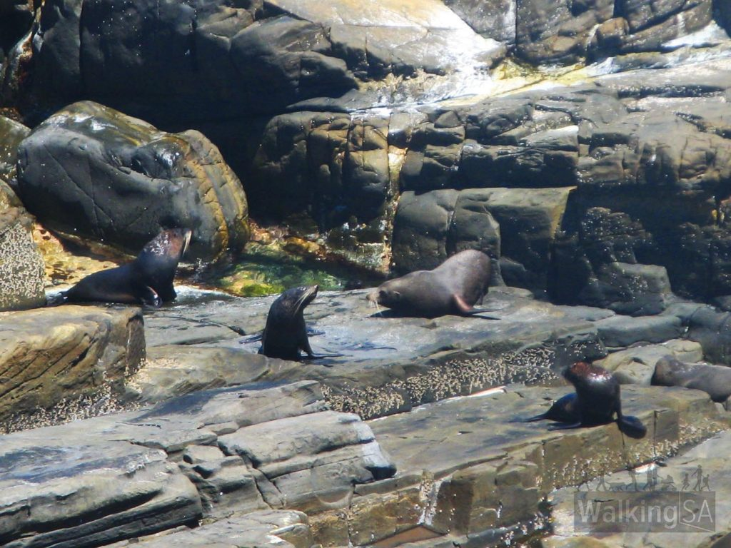Watch the seals play and bash in the sun on the Admirals Arch Walk