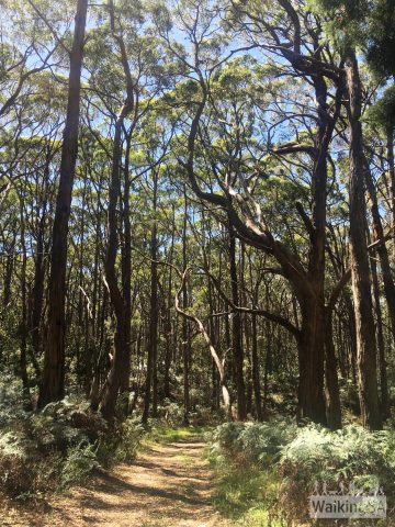 "Following the fire tracks through the tall forests of Lobethal Bushland Park (between F and P on the <a href=""https://www.walkingsa.org.au/wp-content/uploads/2017/01/Map-of-4-hiking-trails-in-Lobethal-Bushland-Park.pdf"">correspond with our map</a>)"