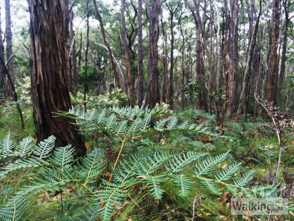 Tall forest with fern undergowth in Porter Scrub Conservation Park