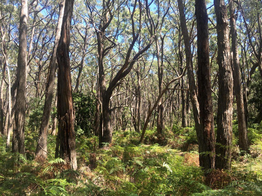 The dense forest in Lobethal Bushland Park