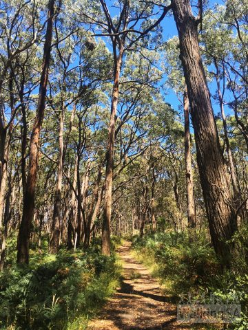 The trails in Lobethal Bushland Park are a mixture of single track walking trail and then some fire tracks like this one