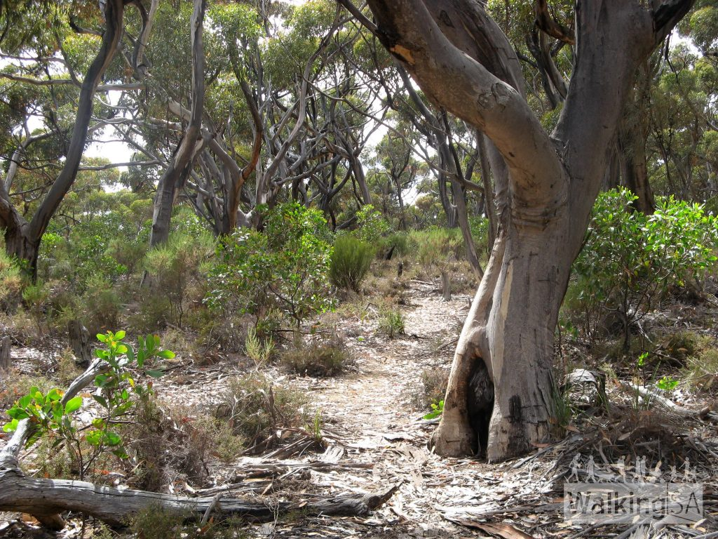 Walking through sugar gum forest from Harveys Return Campground to the cemetery