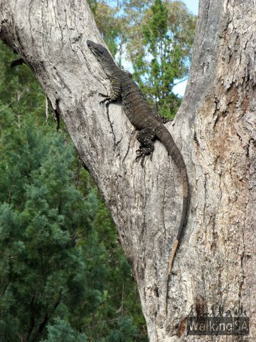 A large goanna on the Black Range Trek