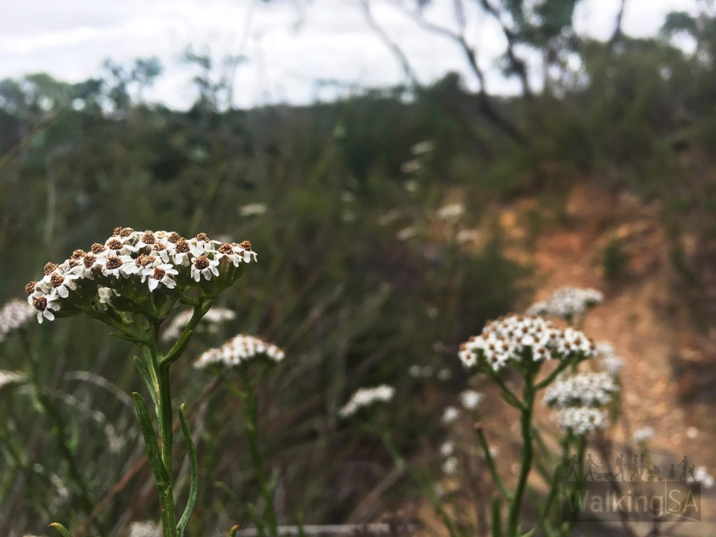 Flowers on the Hale Conservation Park Loop