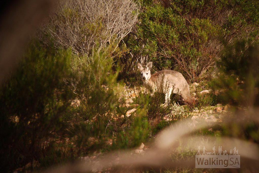 Kangaroos in Mambray Creek