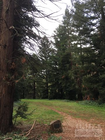 The avenue of sequoias at the end of the RSL Walk. The avenue was planted in 1962 as a WW2 memorial