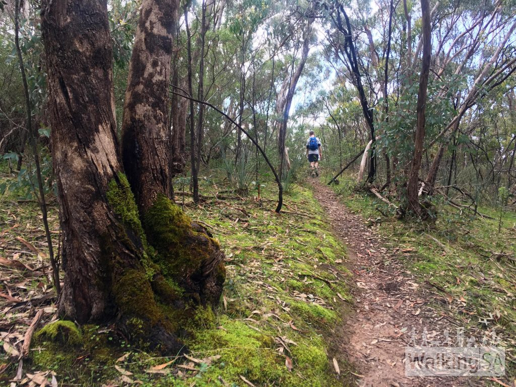 The Echidna Hike passes through pink gum and grey box woodland