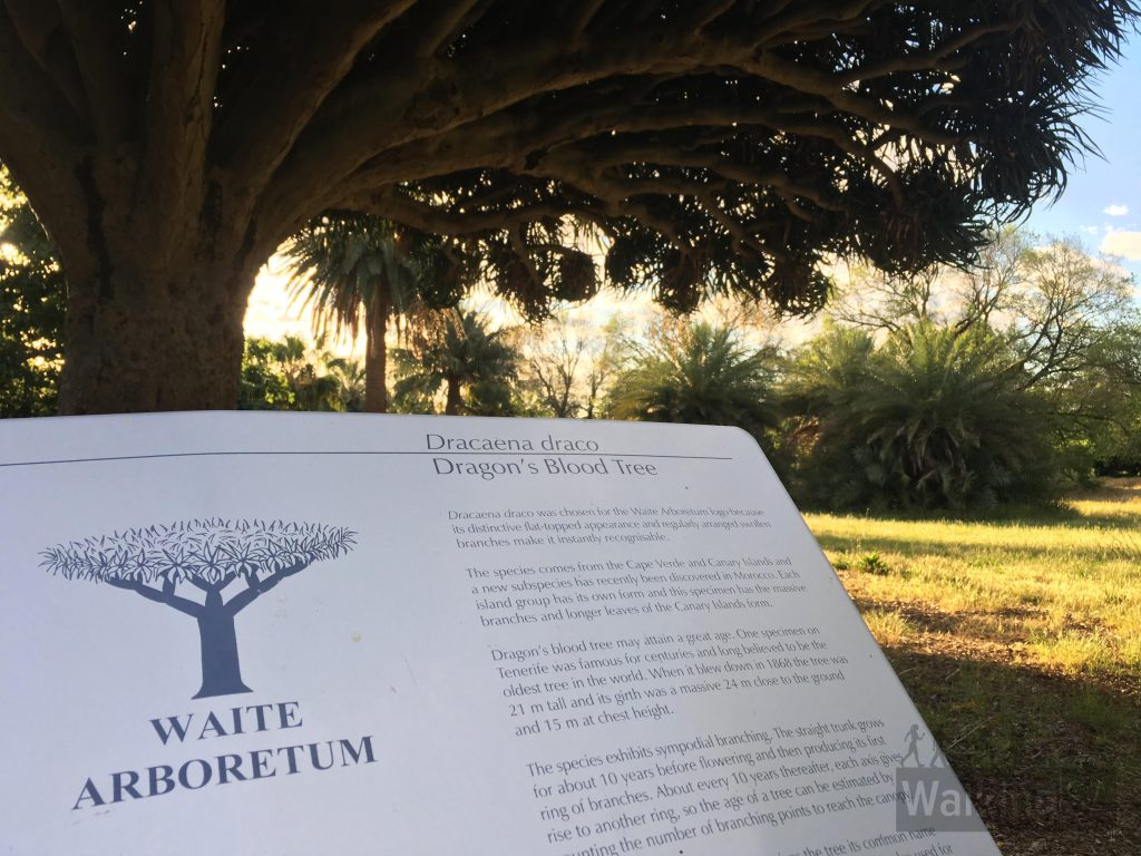The Draceana Draco - or Dragon's Blood Tree - is also the logo for Waite Arboretum. It was chosen because it is so distinctive.
