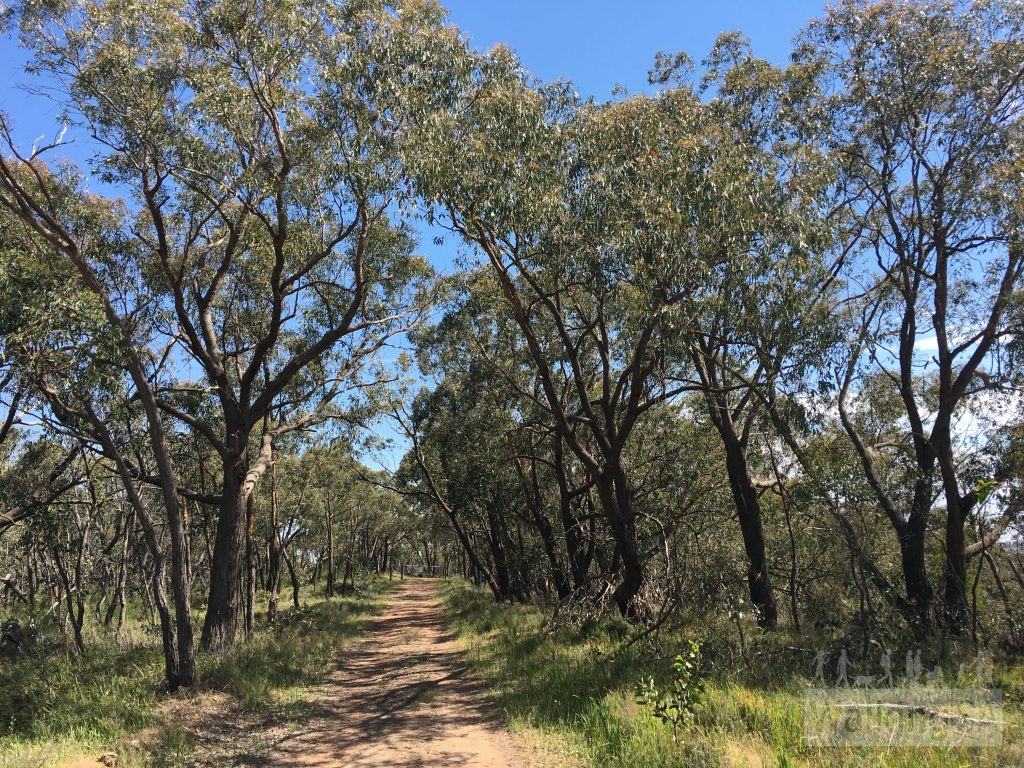 The Ridgetop Walk is a gentle walk following a fire track along the ridge, with views in both directions through the trees and yackas