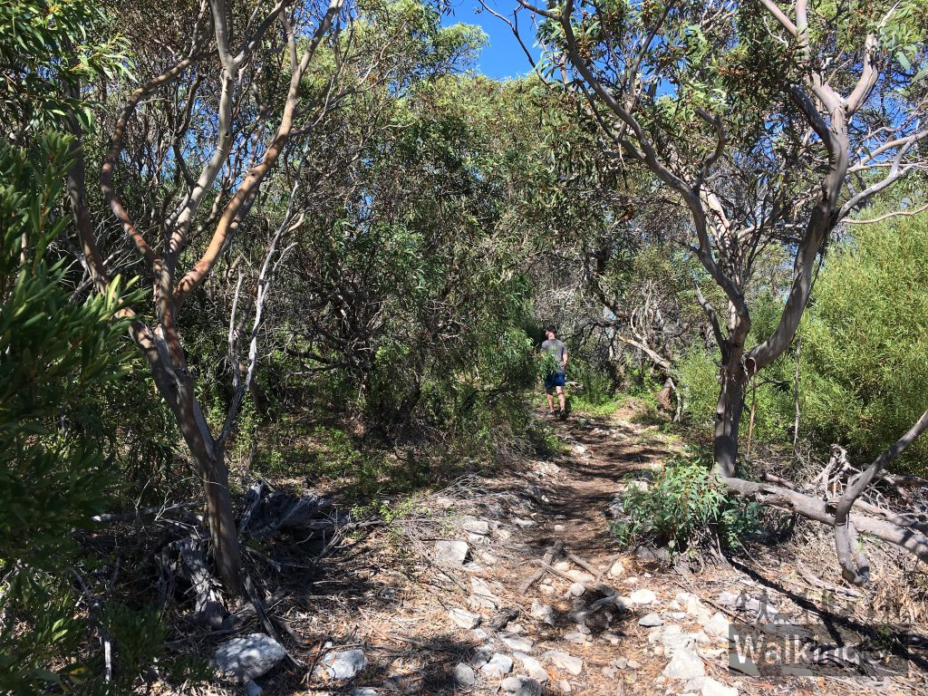 Walking through a shady section of the Yangie Lookout Walk