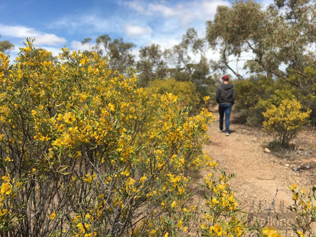Walking through the Native Flora Reserve on the Quorn Foothill Flora Walk