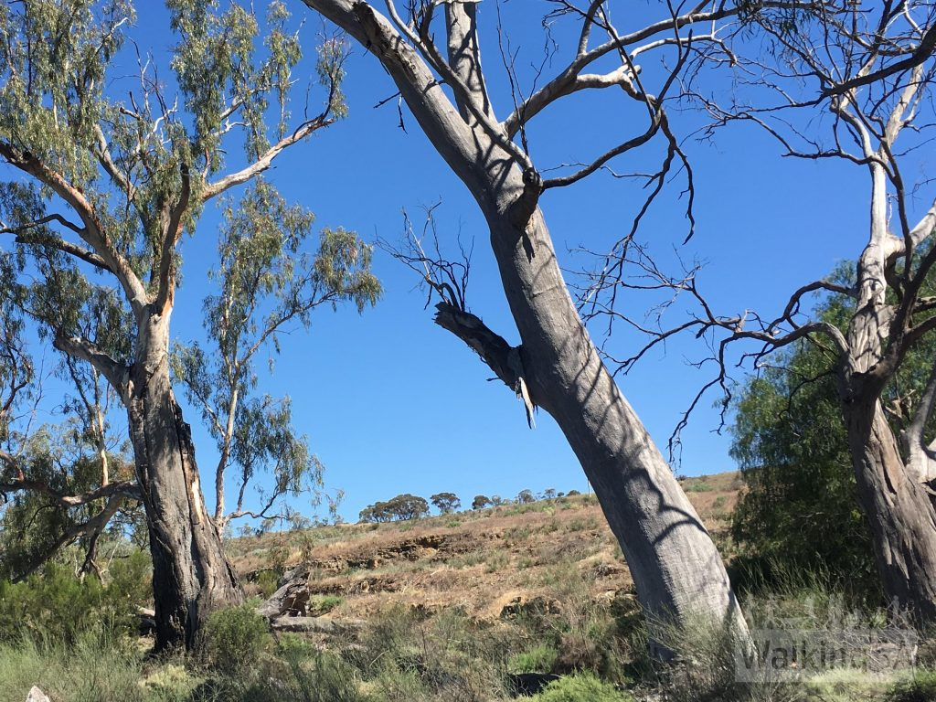 The Canoe Tree on the Heritage Walk. Marked at point 9 on the map, the canoe shape in the bark isn't visible from the walking trail because it is obscured by the pepper tree, but it is easily visible from the road