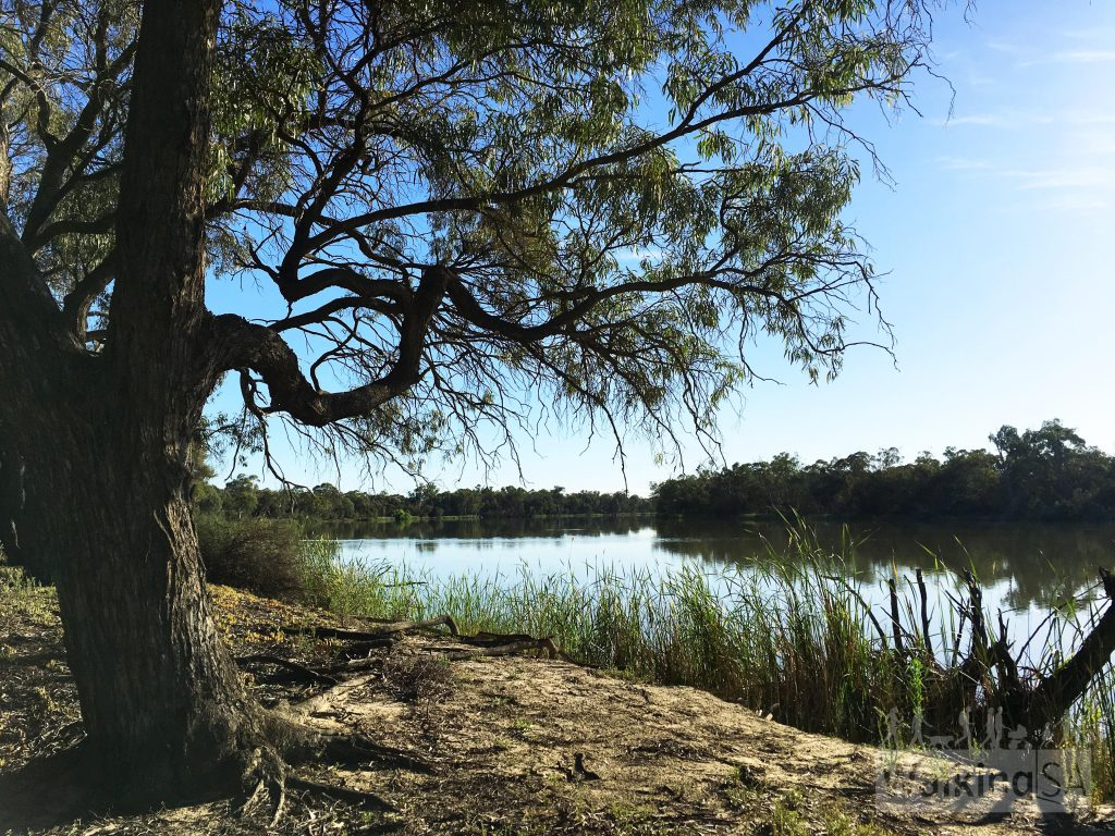 The Ngak Indau Wetland Trail visits the main river channel of the River Murray